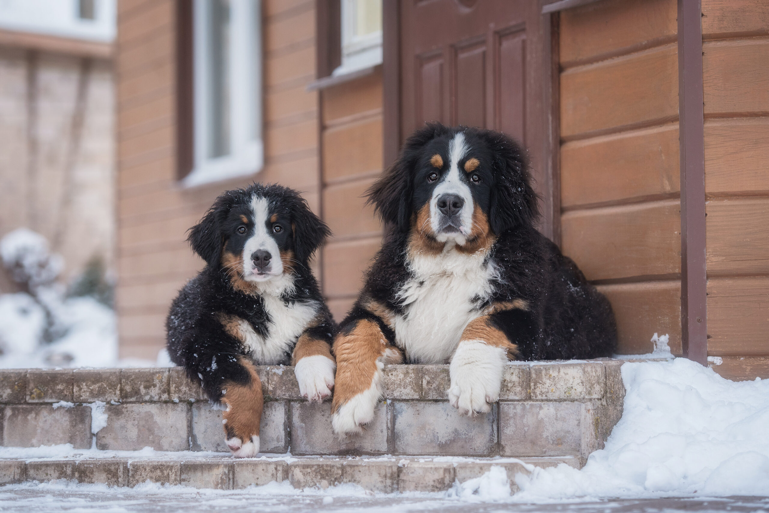Two Bernese Mountain Dogs In The Yard In Winter